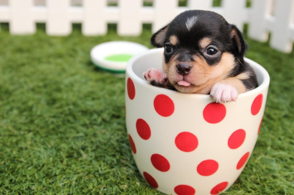 tiny loans puppy dog in tea cup