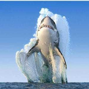 private loan sharks shark jumping out of water cape town south africa