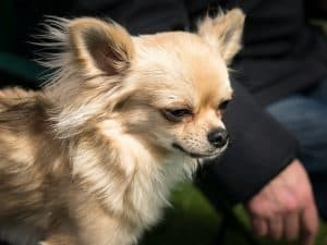 Small Payday Loans chihuahua dog small