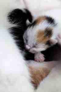 Tiny Little Loans tiny kitten